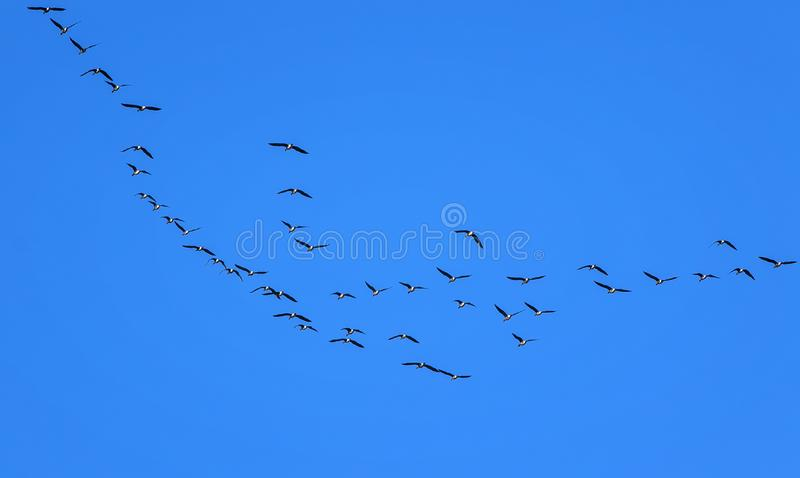 Natural background with flocks of gray birds geese flying far away high in the blue clear sky on an autumn day in warm climes. Background with flocks of gray royalty free stock photos