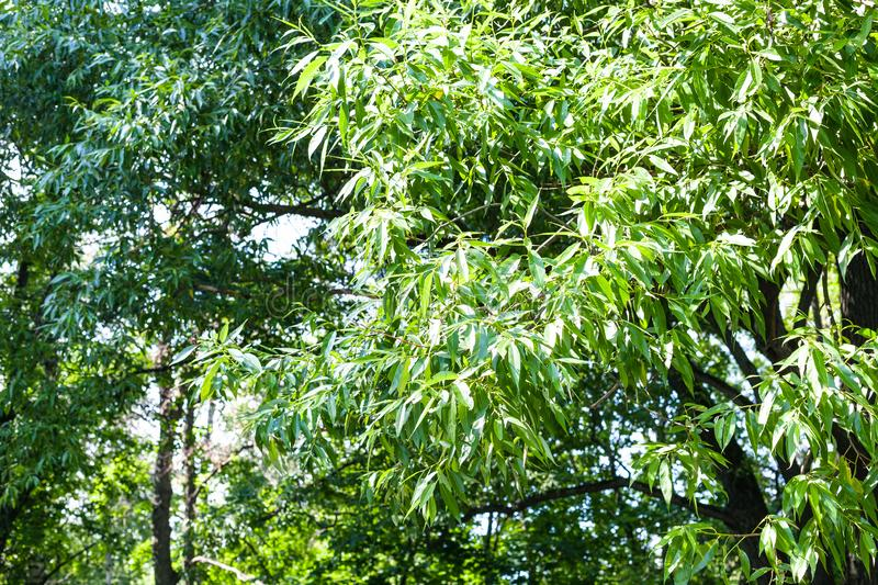 Green branches of willow trees in forest in summer royalty free stock photos