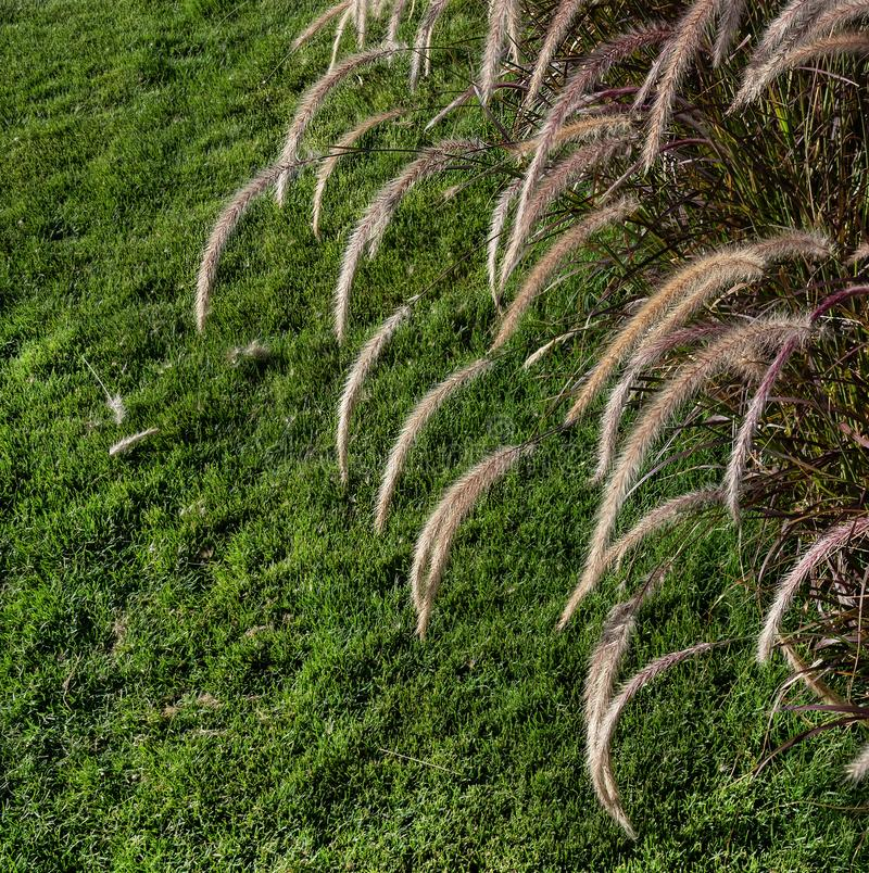 Natural background of green grass and spikelets of pennisetum as wallpaper stock photography