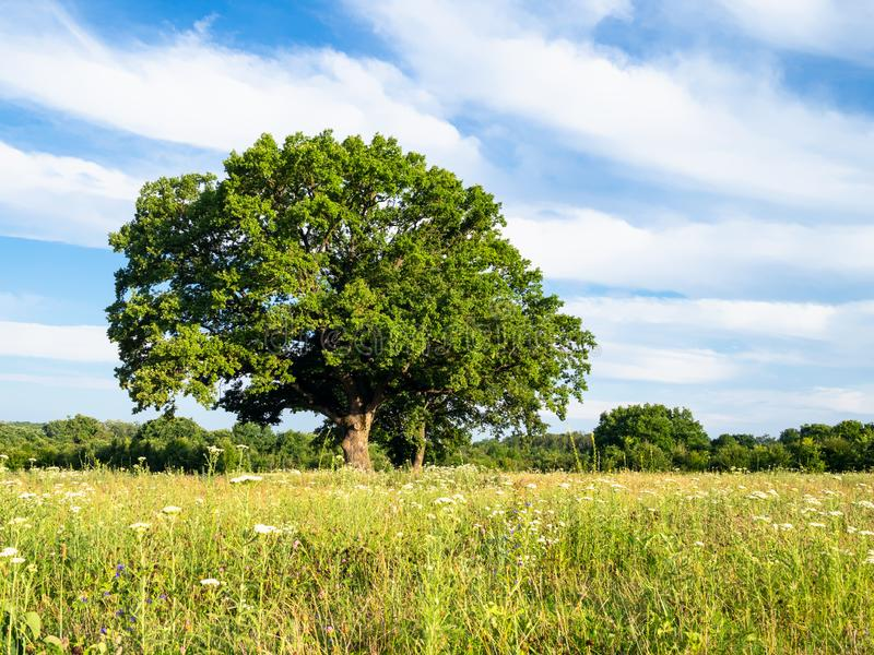 Green grassplot and large oak tree on summer day. Natural background - green grassplot and large oak tree on summer day in the Caucasus in Kuban region of stock image