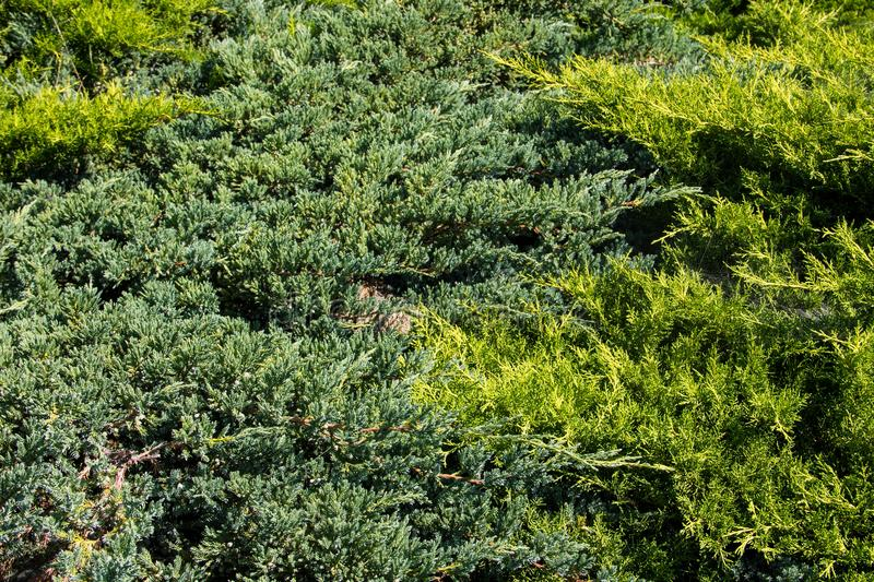 Natural background of green juniper bushes. Natural background of the green juniper bushes royalty free stock photo