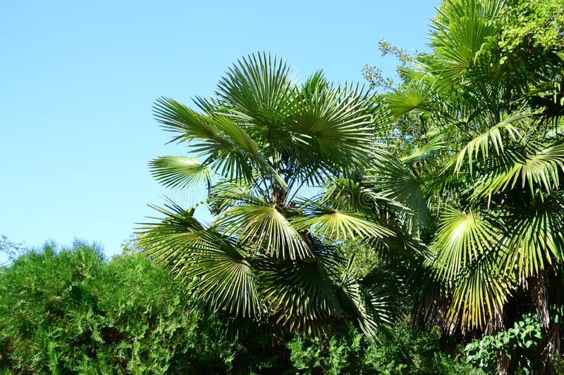 Natural background with green palm leaves against blue sky royalty free stock image