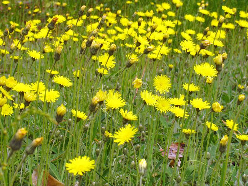 Natural background of green vegetation with yellow flowers stock image