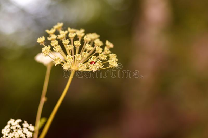 Natural background. Ladybug hid in the inflorescence of cow parsnip, blurred background, bokeh. Selective focus.  stock photo