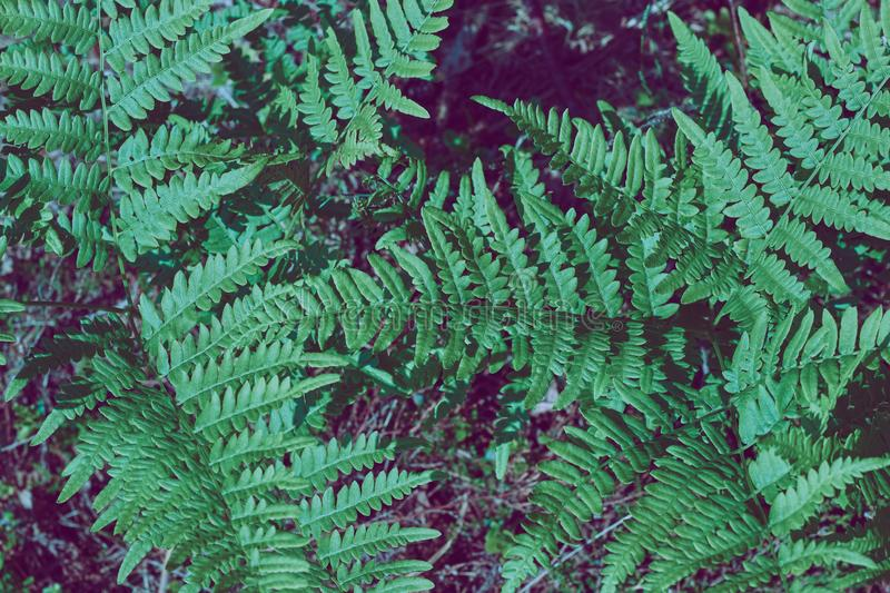 Natural background of leaves. Natural green young ostrich fern or shuttlecock fern leaves Matteuccia struthiopteris on each other. Natural green young ostrich stock images