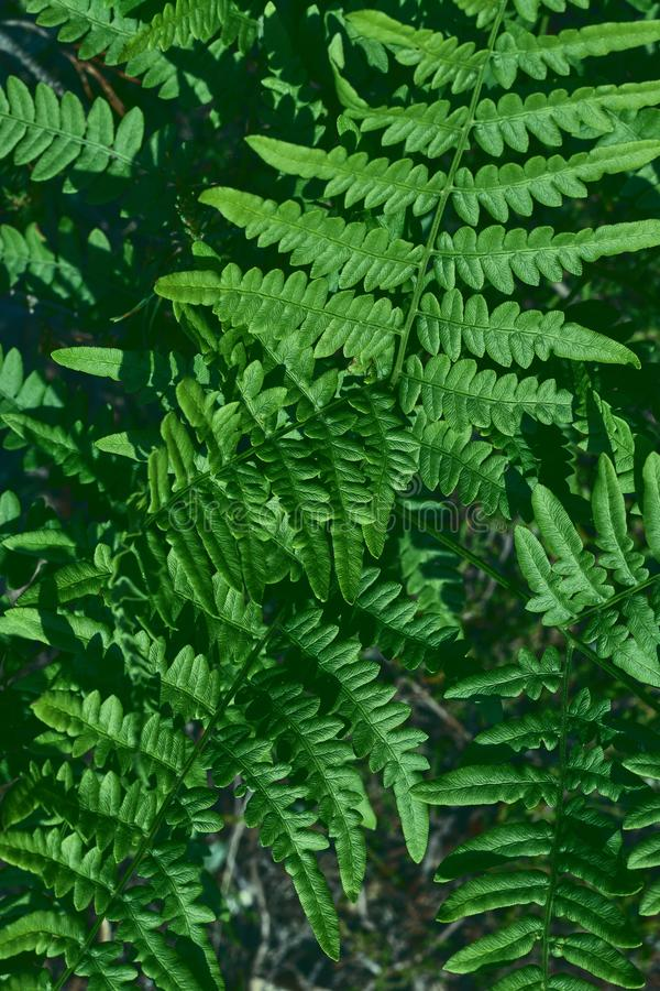Natural background of leaves. Natural green young ostrich fern or shuttlecock fern leaves Matteuccia struthiopteris on each other. Natural green young ostrich stock photo