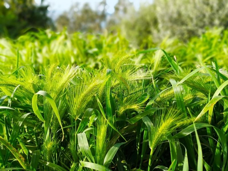 Natural, background and life concept. The fresh green grass is leaning against the passing wind. Selective focus and copyspace royalty free stock images