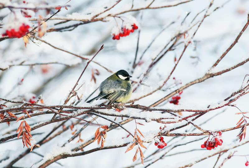background with little bird tit sitting on Rowan branches with juicy ripe bunches of red berries in winter Park royalty free stock photo