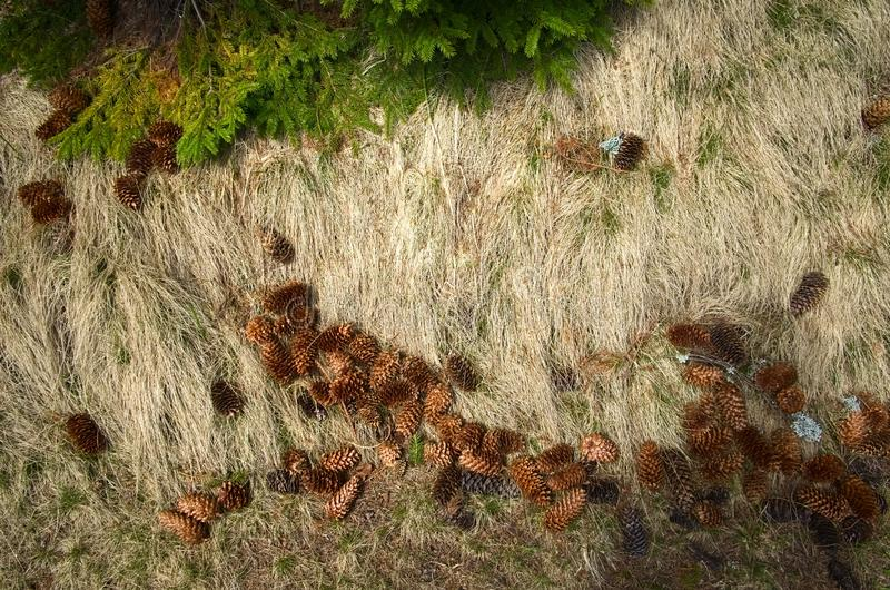 Natural background pattern of green and dry grass and pine cones under pine tree in the mountain forest royalty free stock image