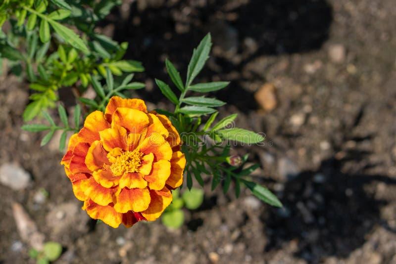 Natural background. Image of orange merigold in the garden stock images