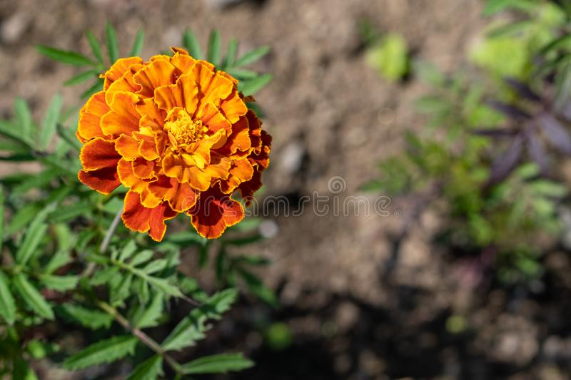 Natural background. Image of orange merigold in the garden royalty free stock images