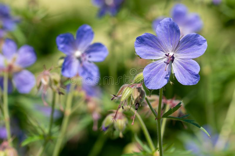 Natural background. Image of viola flowers in soft focus royalty free stock photography