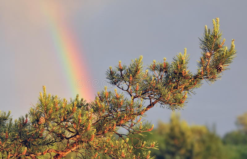 Natural background, pine branch, rainbow royalty free stock photography