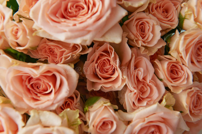 Natural background, pink roses, texture of pink roses for desktop, background. Beautiful and delicate spray roses. Natural background, pink roses, texture of royalty free stock image