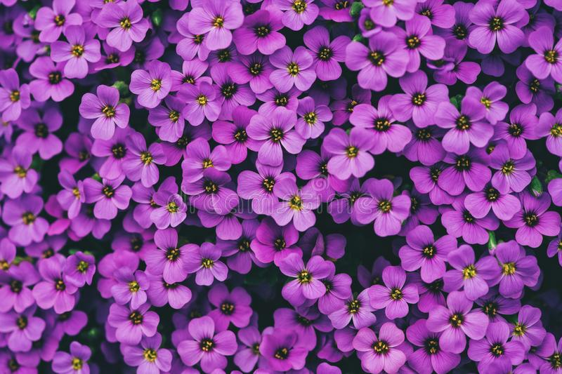 Natural background of purple Honesty flowers. Natural background of purple Annual Honesty flowers royalty free stock photo