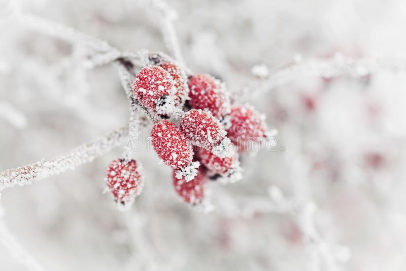 Natural background from red berry covered with hoarfrost or rime. Winter morning scene of nature. royalty free stock images