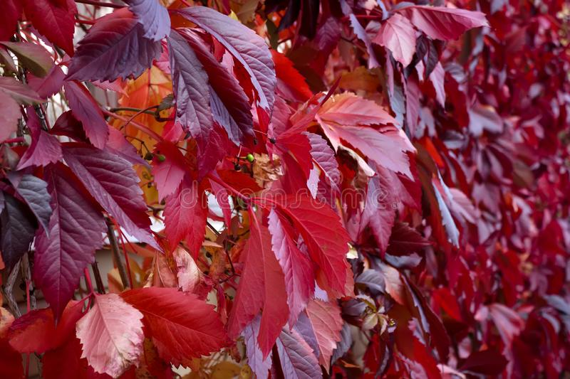 Natural background shapes and textures of red virginia creeper leaves in the autumn. royalty free stock images