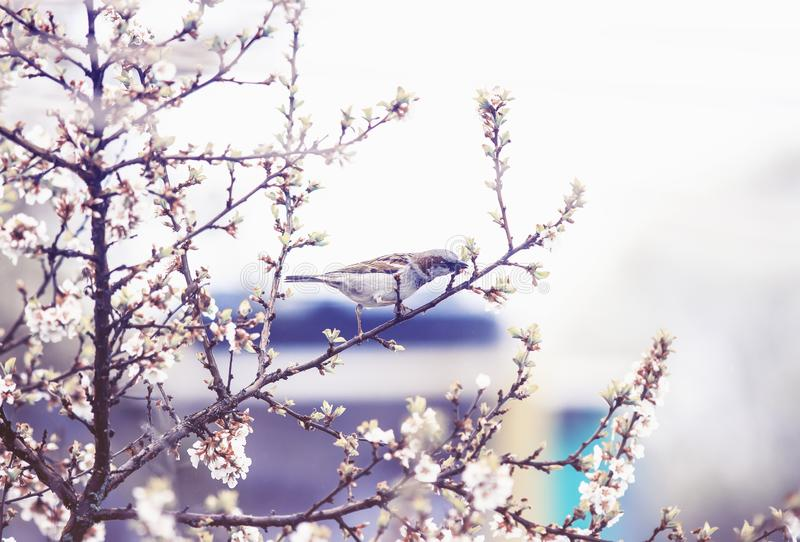 natural background with bird Sparrow sitting on the branches of the cherry blossoms in the may garden in a quiet lilac royalty free stock image