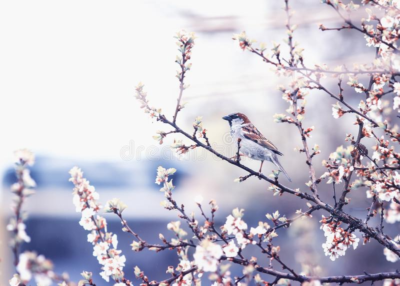 Natural background with small bird Sparrow sitting on the branches of the cherry blossoms in the may garden in a quiet lilac royalty free stock photography