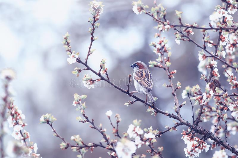 Natural background with small bird Sparrow sitting on the branches of the cherry blossoms in the may garden under the warm rain royalty free stock image