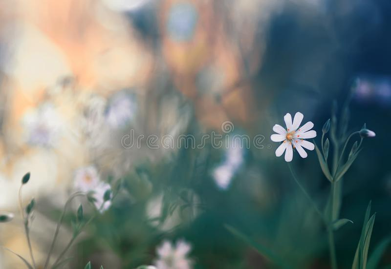 natural background with small delicate white flowers grow on spring forest clearing royalty free stock photography
