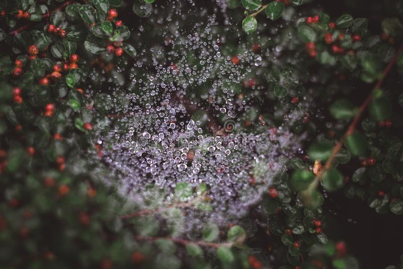 Natural background with spider web in water drops after rain and green leaves with red berries stock photo