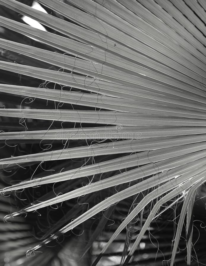 Natural background texture.Black and white. Light and shadow. The palm leaf. Contrast lighting, bright light and dark background stock image