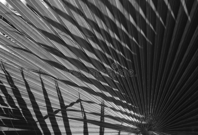 Natural background texture. Black and white. Light and shadow. The palm leaf. Contrast lighting, bright light and dark background stock photo