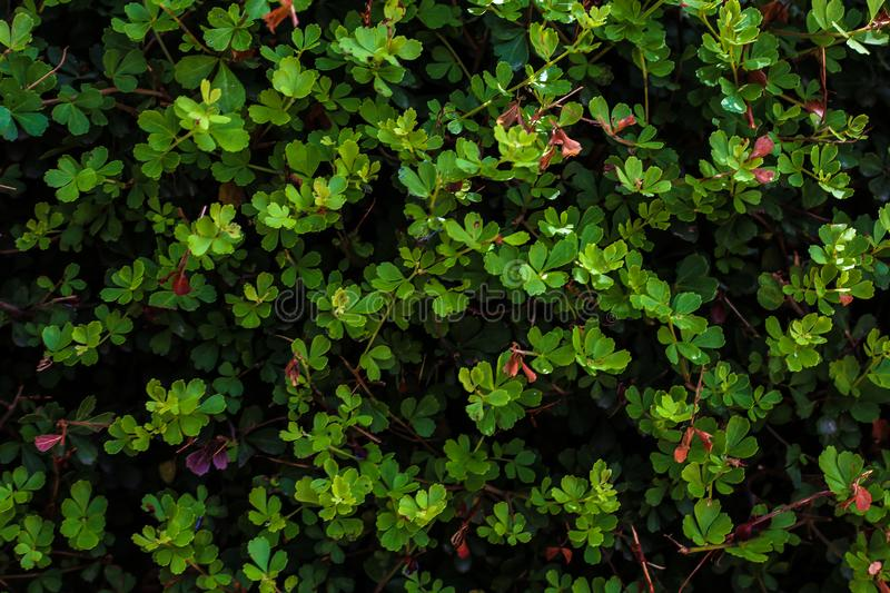 A natural background of tiny green leaves royalty free stock image