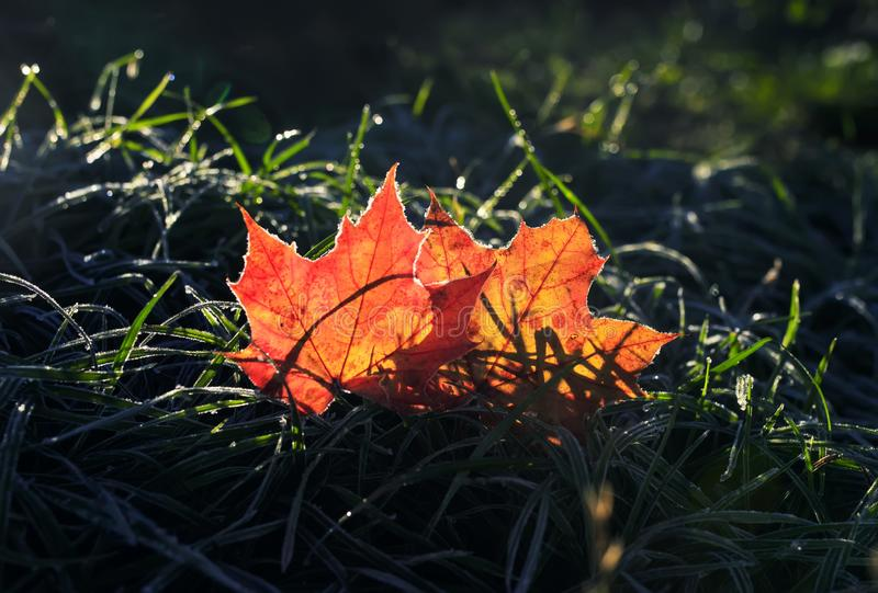 Natural background with two beautiful bright Golden maple leaves royalty free stock photos