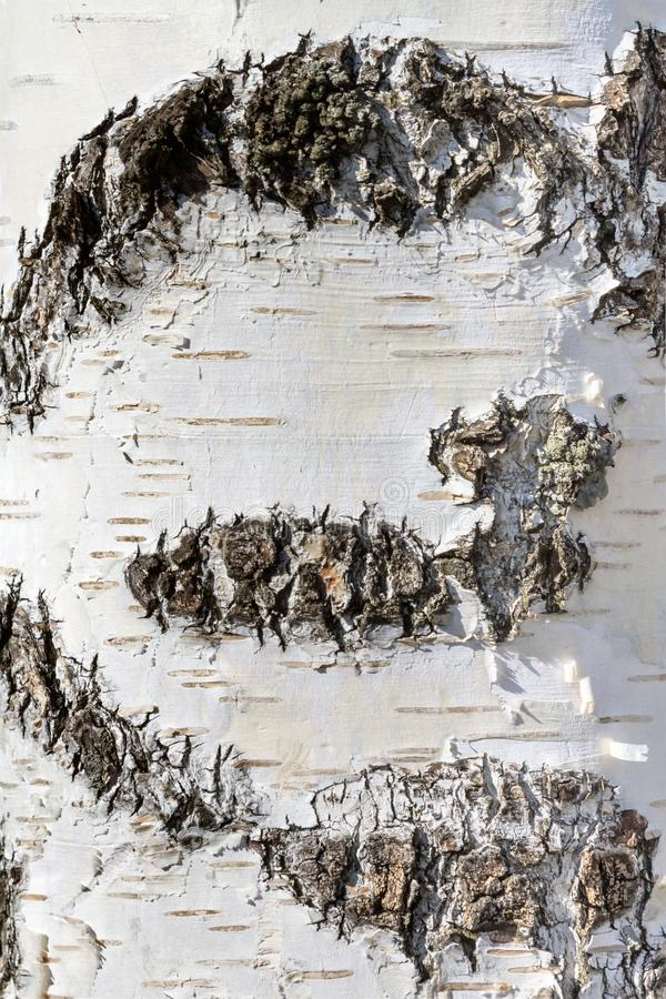 Natural background - the vertical texture of a real birch bark close-up stock photo