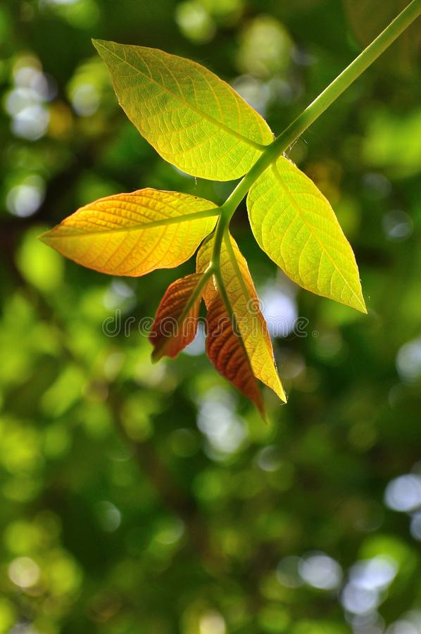 Natural background with walnut leaf royalty free stock image