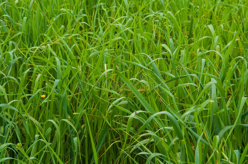 Natural backgrounds. Grass royalty free stock image