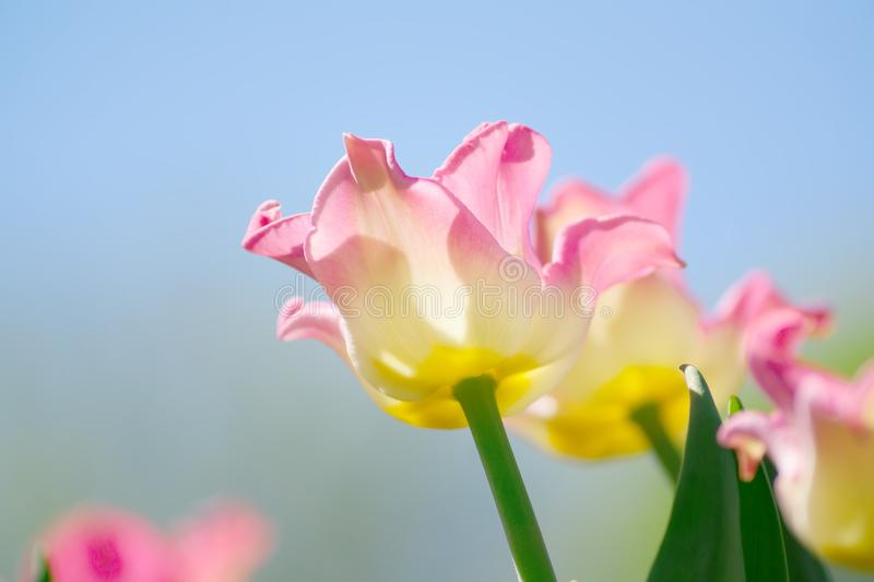 Natural bakground of spring blooming flowers. Field of bright pink and orange tulips against blue sky stock photos