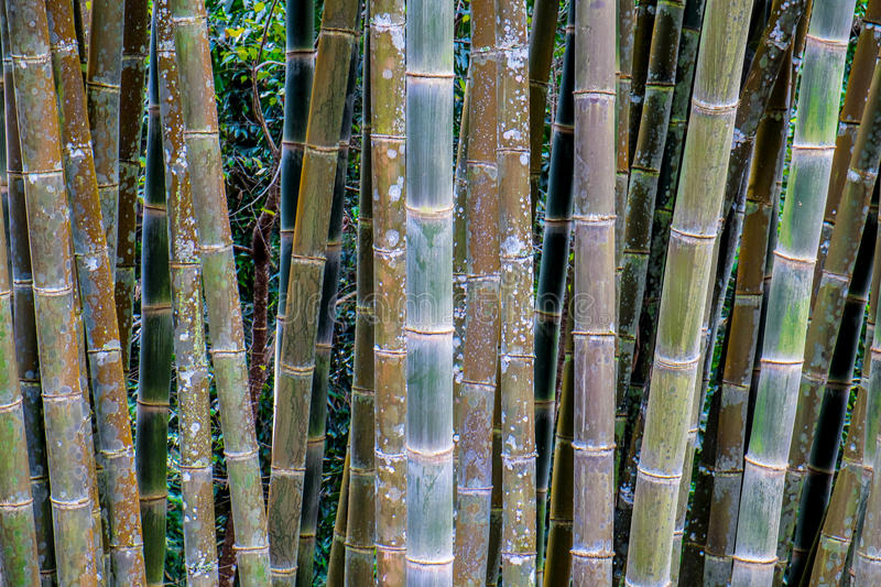 Natural bamboo forest royalty free stock photo