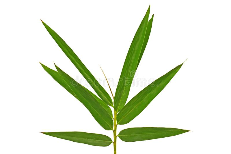 Bamboo leaf cut out on white background. Natural of Bamboo leaf cut out on white background stock images