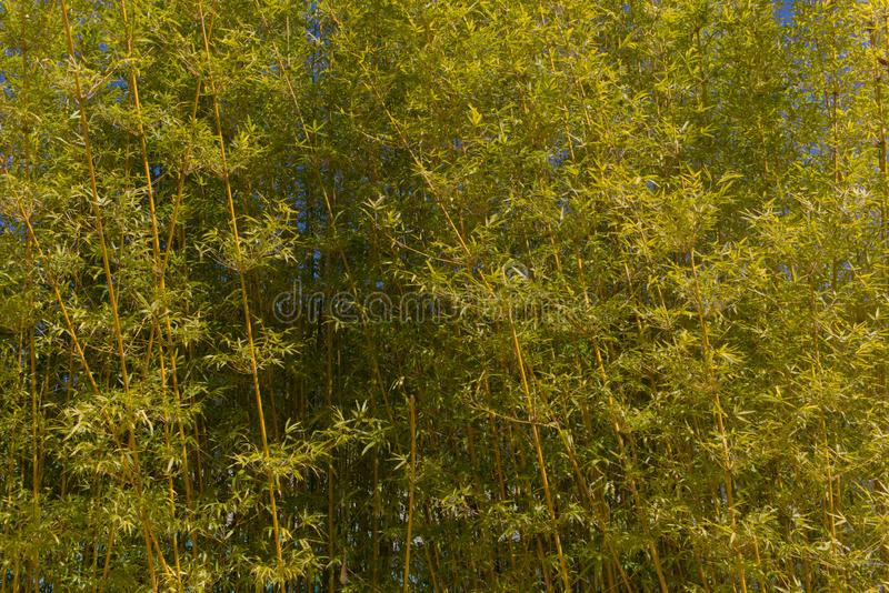 Natural uprightl Bamboo Texture background. A natural bamboo grove with tall upright foliage. Great for a background or texture royalty free stock images