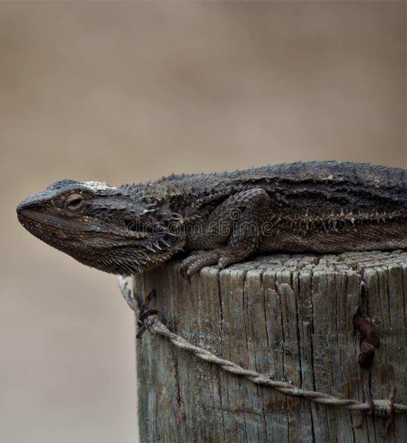 Natural barbudo de Dragon Lizard Australia imagenes de archivo