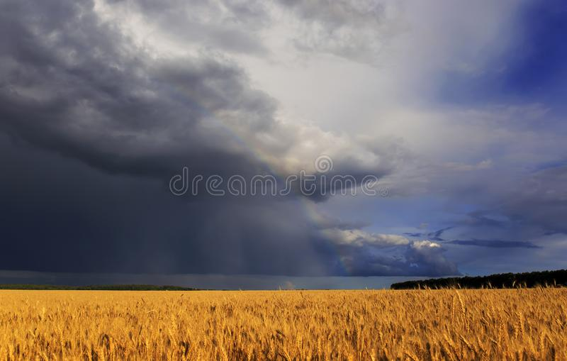 Beautiful landscape with field of Golden ripe wheat ears on blue background a stormy sky with clouds and a bright rainbow. Natural beautiful landscape with field royalty free stock photo