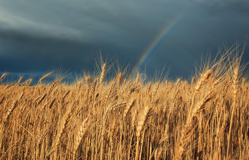 Natural landscape with field of Golden ripe wheat ears on blue background a stormy sky with clouds and a bright rainbow. Natural beautiful landscape with field stock photography
