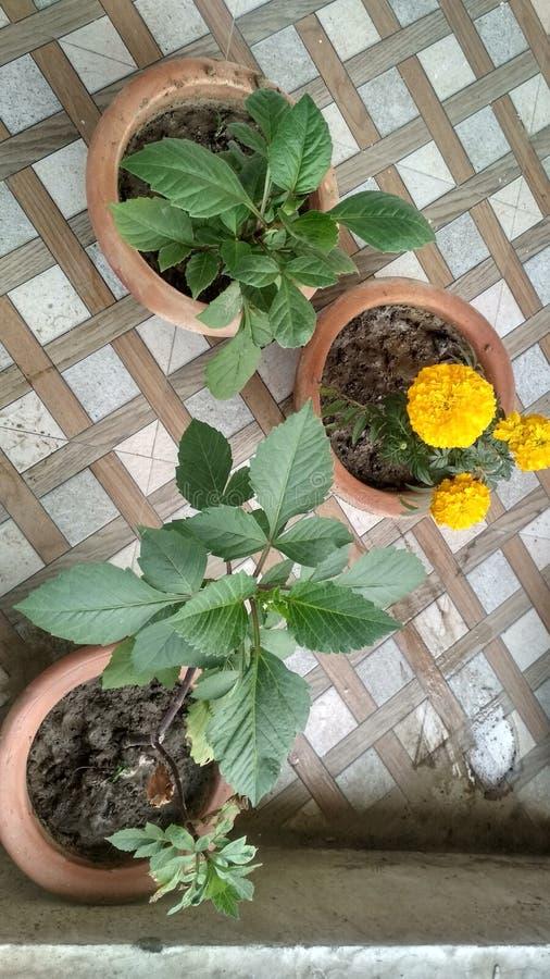 Natural beautiful Marigold flower in a pot and green leaflets, leaf. Kushinagar village stock photography