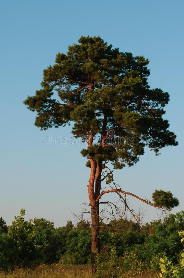 Lonely pine tree against the blue morning sky. Morning bike ride out of town. stock photos