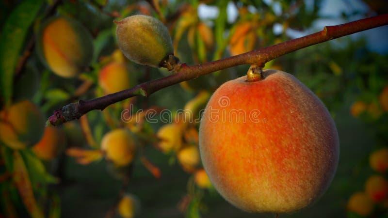Natural biológico de la fruta del melocotón en la planta imagenes de archivo