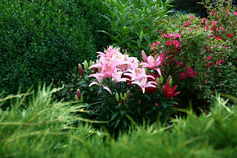 Lilies in a green environment. stock images