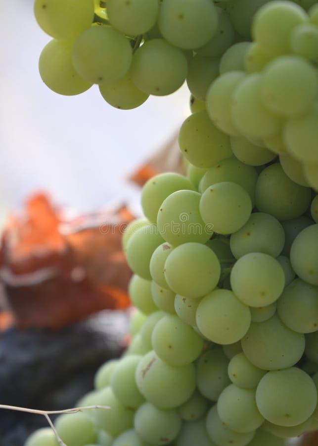 Natural big bunch of grapes. Close-up shot. stock photo