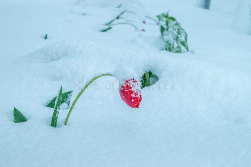 A natural calamity of snow during the bloom of the trees and the flowers royalty free stock image