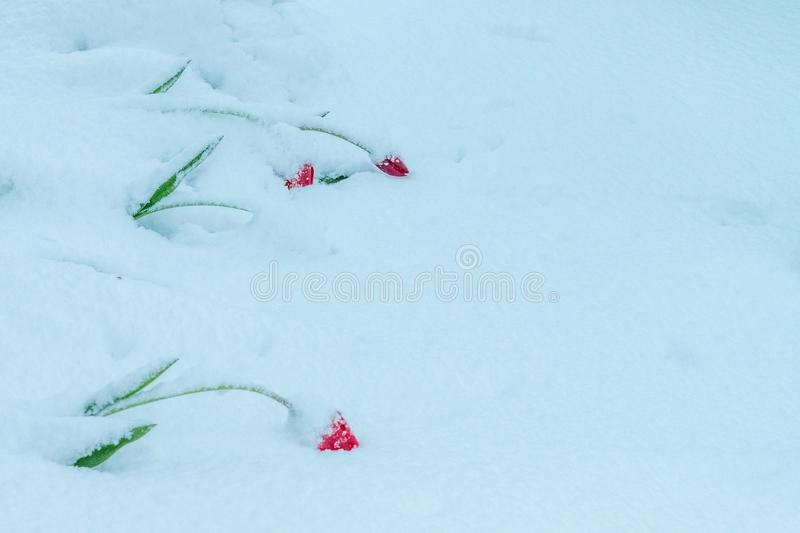 A natural calamity of snow during the bloom of the trees and the flowers stock image
