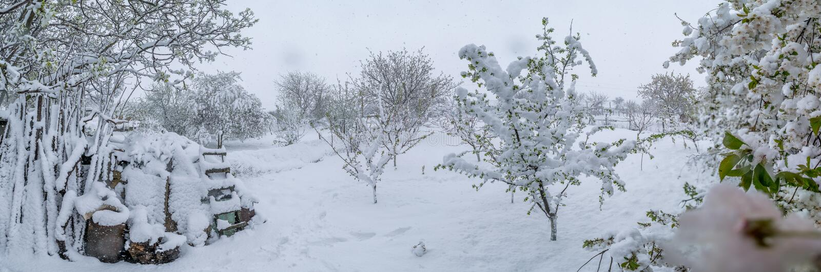 A natural calamity of snow during the bloom of the trees and the harvest royalty free stock image