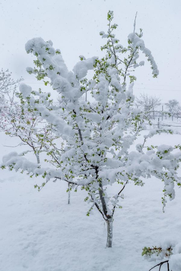 A natural calamity of snow during the bloom of the trees and the harvest stock photography