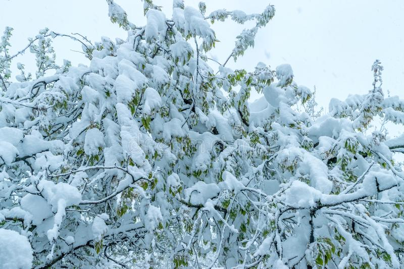 A natural calamity of snow during the bloom of the trees and the harvest stock images